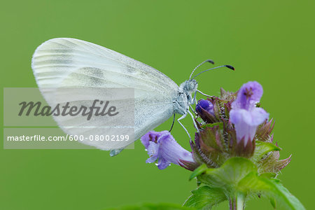 Wood White (Leptidea sinapis) Butterfly on Flower, Bavaria, Germany Stock Photo - Premium Royalty-Free, Image code: 600-08002199
