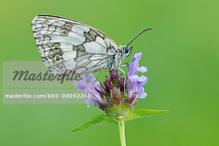 Marbled White (Melanargia galathea) Butterfly on Purple Flower, Bavaria, Germany Stock Photo - Premium Royalty-Free, Image code: 600-08002200