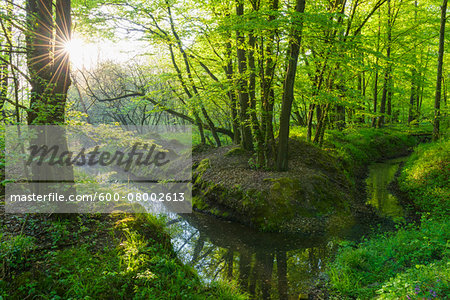 Beech tree (Fagus sylvatica) Forest and Brook in Spring, Hesse, Germany Stock Photo - Premium Royalty-Free, Image code: 600-08002613