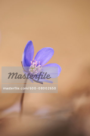 Close-up of a Common Hepatica (Anemone hepatica) flowering in spring, Bavaria, Germany Stock Photo - Premium Royalty-Free, Image code: 600-08002650