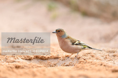 Common Chaffinch (Fringilla coelebs) on Sandy Beach in Spring, Bavaria, Germany Stock Photo - Premium Royalty-Free, Image code: 600-08065014