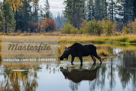Backlit Moose (Alces alces) in Pond, Jackson Hole, Grand Teton National Park, Wyoming, USA Stock Photo - Premium Royalty-Free, Image code: 600-08082855