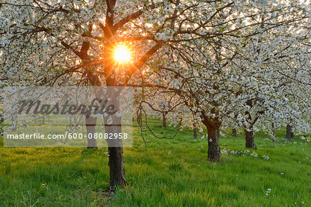 Sun through Cherry Trees Blossoming in Spring, Baden Wurttemberg, Black Forest (Schwarzwald), Germany Stock Photo - Premium Royalty-Free, Image code: 600-08082958
