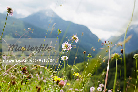Close-up of Flowers in Field in Summer, Tirol, Austria