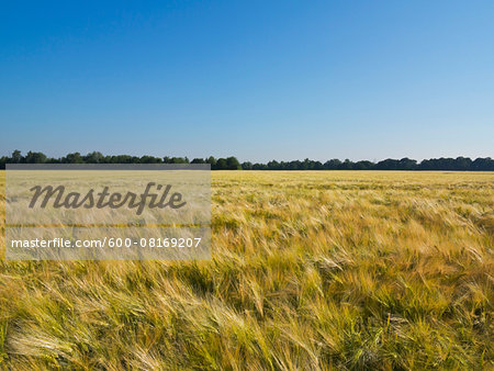 Wheat field with blue sky, Germany Stock Photo - Premium Royalty-Free, Image code: 600-08169207