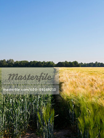 Young wheat growing next to wheat field, Germany Stock Photo - Premium Royalty-Free, Image code: 600-08169210