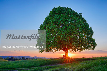 Lime tree (tilia) and park bench in meadow at sunset, spring. Irschenberg, Miesbach, Bavaria, Germany.
