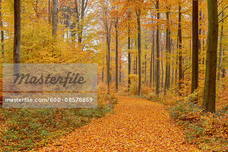 Path in Beech Forest in Autumn, Spessart, Bavaria, Germany
