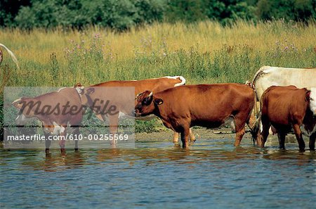 France, Normandy, Flock of cows