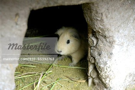 Peru, Pisac, guinea pigs farming Stock Photo - Premium Royalty-Free, Image code: 610-05392763