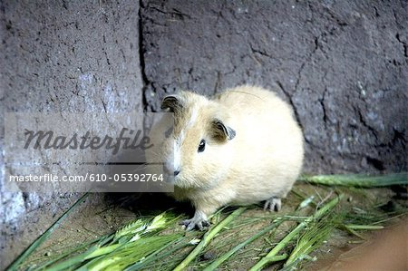 Peru, Pisac, guinea pigs farming Stock Photo - Premium Royalty-Free, Image code: 610-05392764