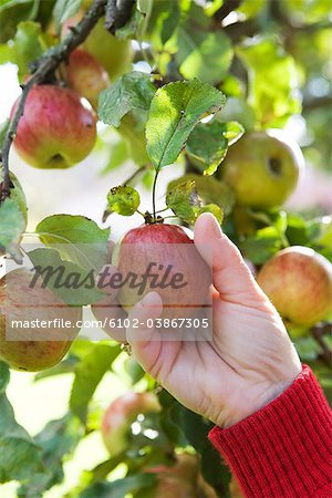 The hand of a woman picking apples, Sweden. Stock Photo - Premium Royalty-Free, Image code: 6102-03867305