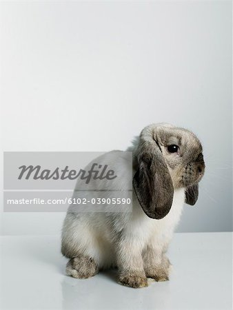 Portrait of a rabbit. Stock Photo - Premium Royalty-Free, Image code: 6102-03905590