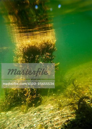 Aquatic plants in sea Stock Photo - Premium Royalty-Free, Image code: 6102-05655534