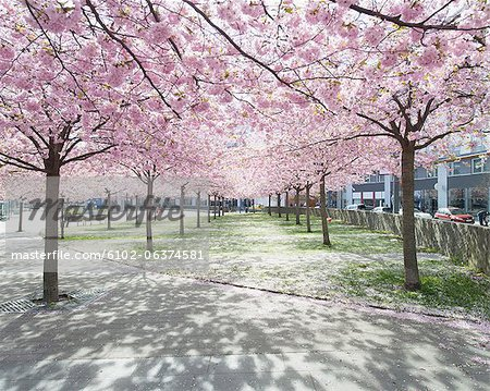 View of park with alley lined with blooming trees Stock Photo - Premium Royalty-Free, Image code: 6102-06374581