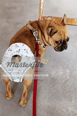 Pug dog wearing diaper Stock Photo - Premium Royalty-Free, Image code: 6102-06471098