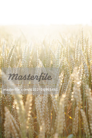 Wheat on field, close-up Stock Photo - Premium Royalty-Free, Image code: 6102-06965461