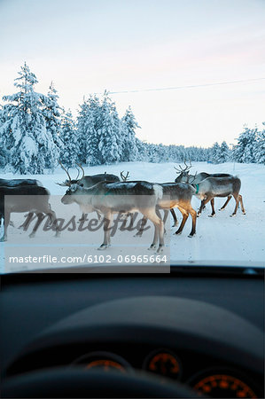 Reindeer on winter road seen through car windshield Stock Photo - Premium Royalty-Free, Image code: 6102-06965664