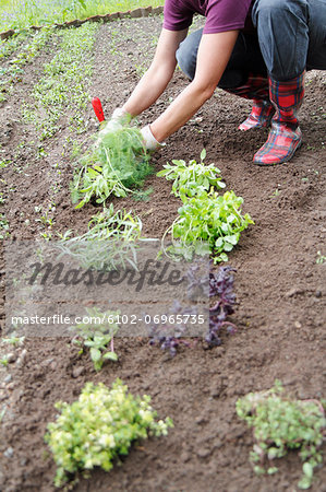 Woman planting herbs Stock Photo - Premium Royalty-Free, Image code: 6102-06965735