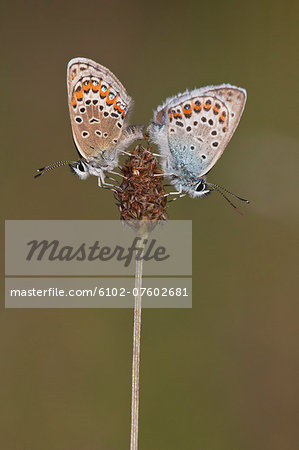 Silver-studded blue butterflies mating, Sweden Stock Photo - Premium Royalty-Free, Image code: 6102-07602681