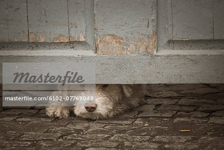 Dog peeking through under door Stock Photo - Premium Royalty-Free, Image code: 6102-07769048