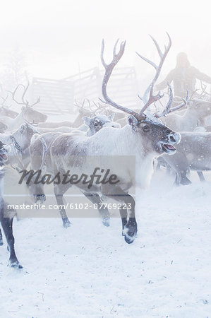 Herd of reindeer in snow Stock Photo - Premium Royalty-Free, Image code: 6102-07769223