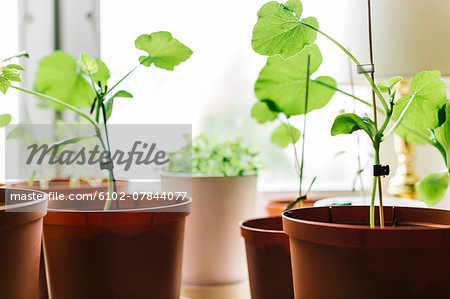 Seedlings in pots Stock Photo - Premium Royalty-Free, Image code: 6102-07844077