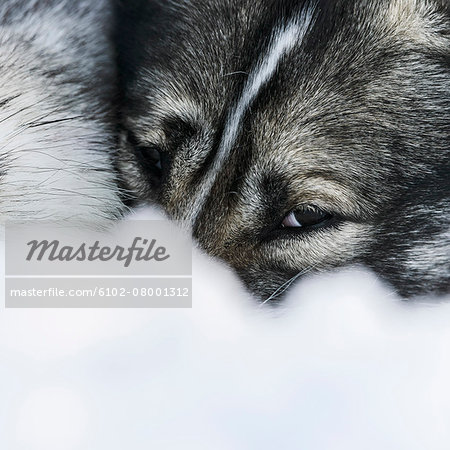 Dog in snow Stock Photo - Premium Royalty-Free, Image code: 6102-08001312