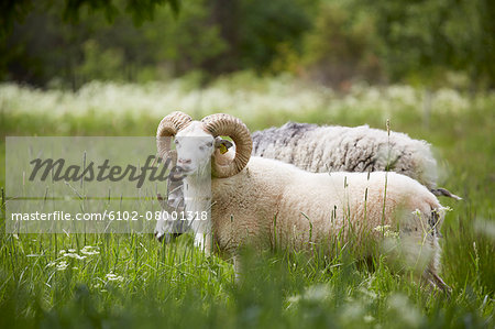 Ram on meadow Stock Photo - Premium Royalty-Free, Image code: 6102-08001318