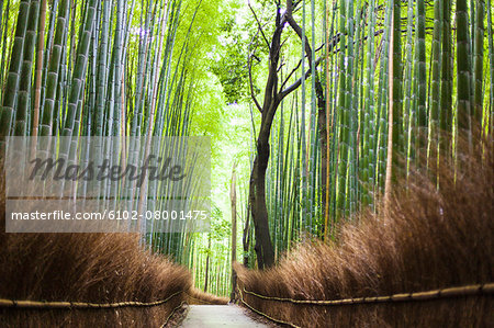 Footpath leading through bamboo forest Stock Photo - Premium Royalty-Free, Image code: 6102-08001475