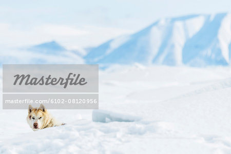 Dog in snowy landscape Stock Photo - Premium Royalty-Free, Image code: 6102-08120956