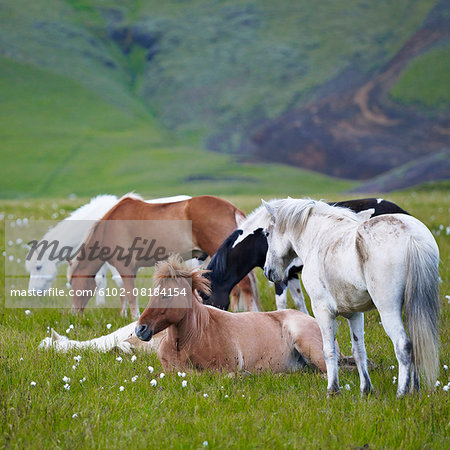 Horses on meadow Stock Photo - Premium Royalty-Free, Image code: 6102-08184154