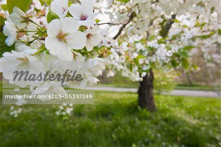 Cherry Blossoms in Arnold Arboretum, Jamaica Plain, Boston, Massachusetts, USA Stock Photo - Premium Royalty-Free, Image code: 6105-05397249