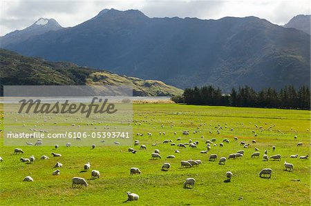 pasture with sheep grazing,  New Zealand Stock Photo - Premium Royalty-Free, Image code: 6106-05393741