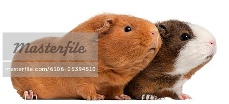 Two guinea pigs (9 months old) Stock Photo - Premium Royalty-Free, Image code: 6106-05394510