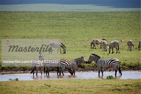 Plains Zebra, Equus quagga Stock Photo - Premium Royalty-Free, Image code: 6106-05395211