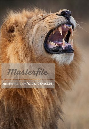Lion Stock Photo - Premium Royalty-Free, Image code: 6106-05403361