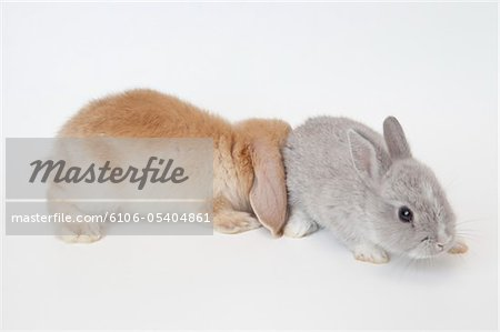 Two rabbits.Netherland Dwarf and Holland Lop. Stock Photo - Premium Royalty-Free, Image code: 6106-05404861