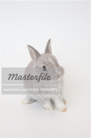 A baby rabbit.Netherland Dwarf. Stock Photo - Premium Royalty-Free, Image code: 6106-05404871