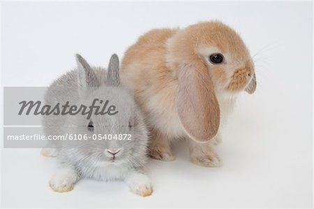 Two rabbits.Netherland Dwarf and Holland Lop. Stock Photo - Premium Royalty-Free, Image code: 6106-05404872