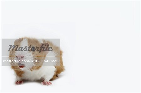 Guinea pig against a white background Stock Photo - Premium Royalty-Free, Image code: 6106-05405556