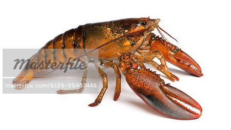 American lobster - Homarus americanus Stock Photo - Premium Royalty-Free, Image code: 6106-05407446