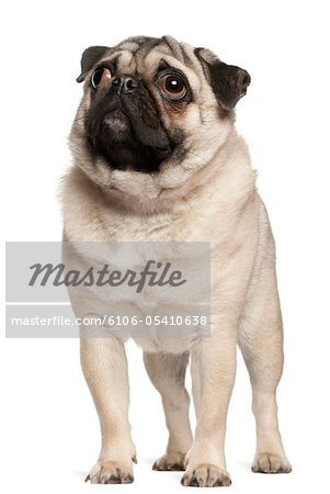 Pug (13 months old) looking up Stock Photo - Premium Royalty-Free, Image code: 6106-05410638