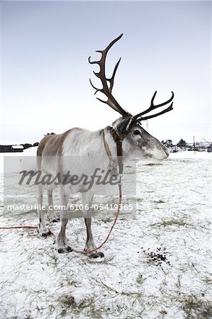 Reindeer ( caribou ) in Lapland Stock Photo - Premium Royalty-Free, Image code: 6106-05419365