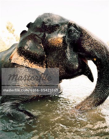 Elephant playing in the water Stock Photo - Premium Royalty-Free, Image code: 6106-05421063