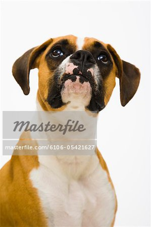 Boxer dog looking up Stock Photo - Premium Royalty-Free, Image code: 6106-05421627