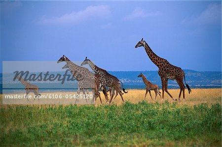 Giraffe family walking across green grass savannah Stock Photo - Premium Royalty-Free, Image code: 6106-05425120