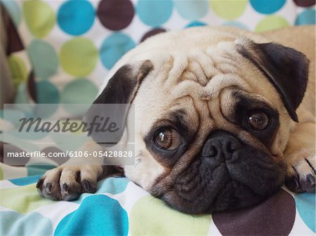pet pug laying on blanket Stock Photo - Premium Royalty-Free, Image code: 6106-05428828
