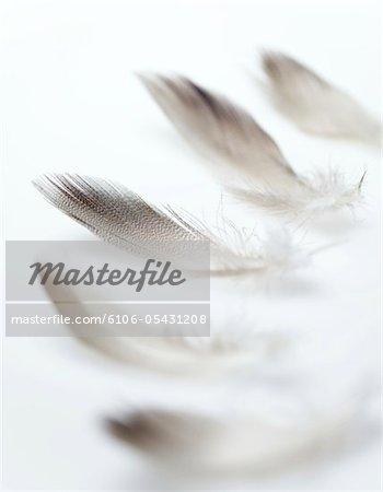 Feathers Stock Photo - Premium Royalty-Free, Image code: 6106-05431208