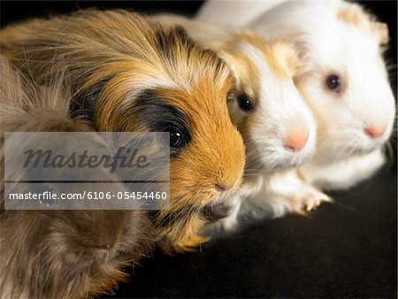 Four guinea pigs sitting in a line, close-up Stock Photo - Premium Royalty-Free, Image code: 6106-05454460
